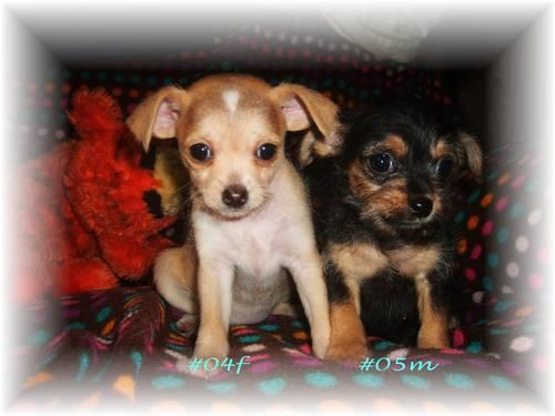 Chihuahuayorkie Cross For Sale In Island Lake Wisconsin Classified