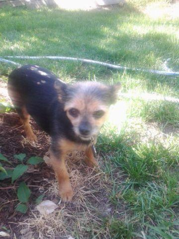 yorkie chihuahua mix for sale chihuahua yorkie mix for sale in barb ohio classified 8009