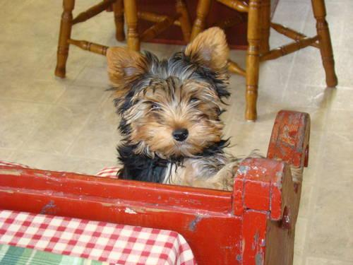 yorkie chihuahua mix for sale chihuahua yorkie mix dogs n puppy for sale for sale in 5588