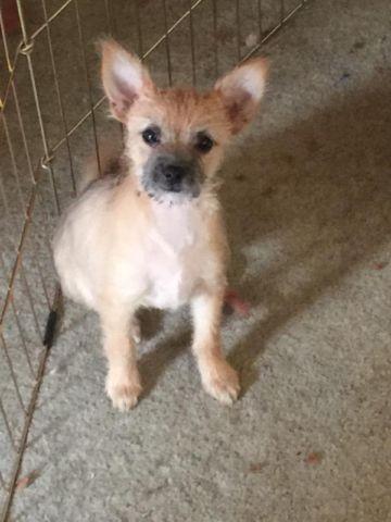 Chihuahua Yorkie mixed puppies