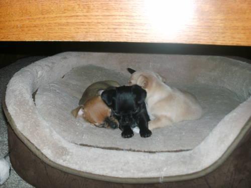 Chihuahua Yorkie Puppies 8 Weeks