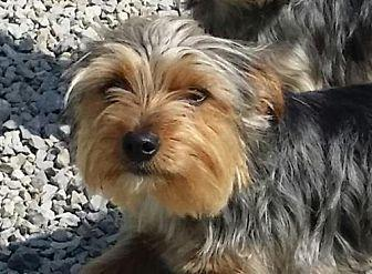 Chili (TIA) Yorkie, Yorkshire Terrier Puppy Female for Sale