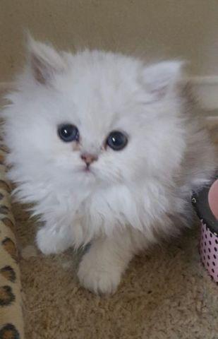 Chinchilla Silver Persian Kittens Cfa For Sale In Las Vegas Nevada Classified Americanlisted Com
