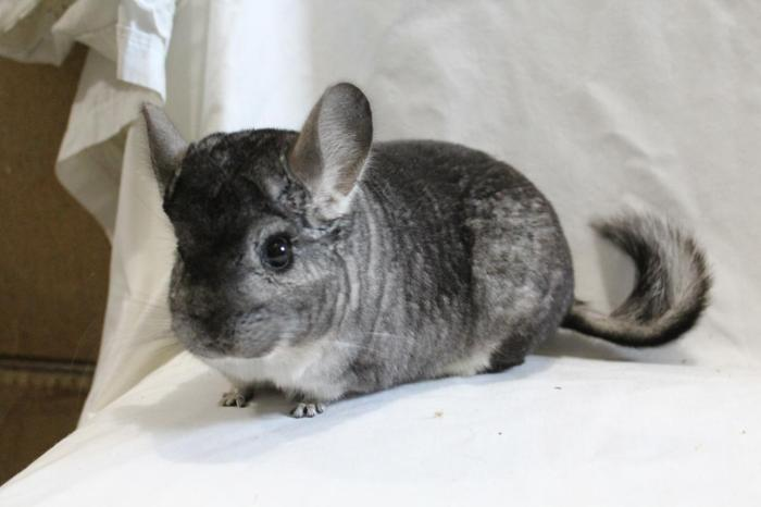 Chinchilla For Sale >> Chinchillas For Sale From Reputable Breeder Bred For Health Temperament And Quality
