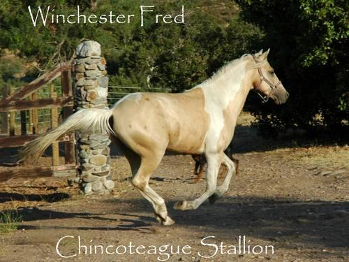 Chincoteague stallion at stud AND for sale! Chestnut