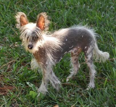 Chinese Crested Dog - Mr. Hbb - Small - Young - Male -