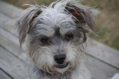 Chinese Crested Dog - Puff - Small - Adult - Female -