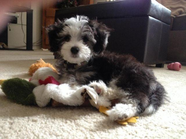 Chinese Crested Poodle For Sale In Bethel Park