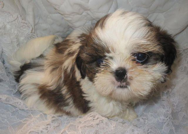 Imperial Shih Tzu Puppies Los Angeles