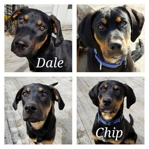 Chip And Dale Rottweiler Baby Adoption Rescue For Sale In Chardon