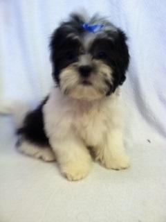 Chit Chats Black And White Baby Boy Shih Tzu For Sale In Darbydale