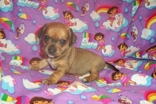 Currency chiweenie puppies for sale in north carolina result