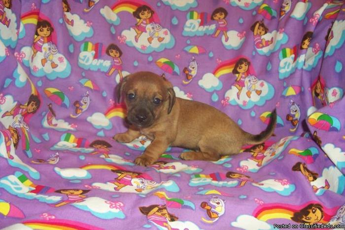 was this chiweenie puppies for sale in nc course, our