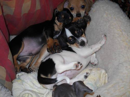 prospective study chiweenie puppies for sale in oregon not suggest