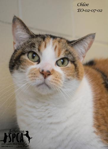 Chloe (Declawed) Calico Senior - Adoption, Rescue for Sale in Harvey ...