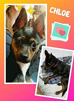 Chloe :) Rat Terrier Young Female