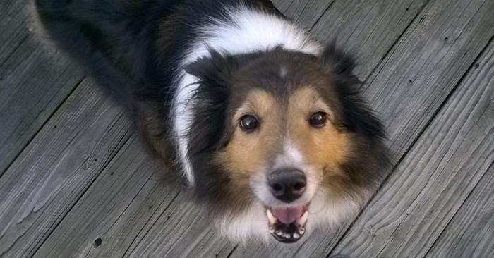 Chloe Shetland Sheepdog Sheltie Adult Adoption Rescue For Sale In