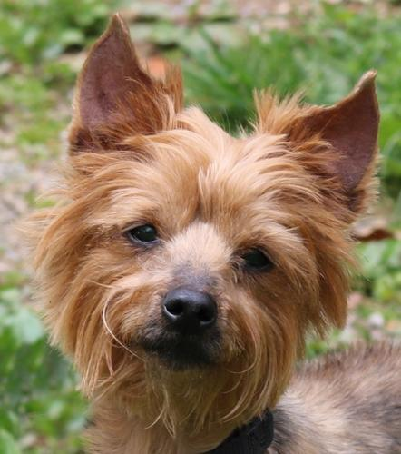 Chloe Yorkshire Terrier Yorkie Adult - Adoption, Rescue