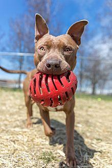 Choco Pit Bull Terrier Adult Male