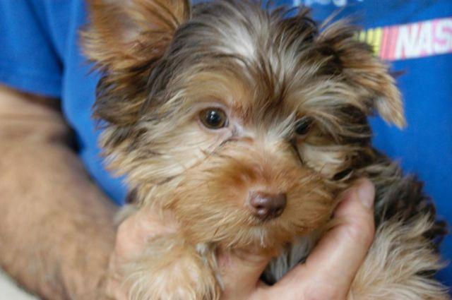Chocolate And Parti Yorkie Angels For Sale In Monterey Tennessee