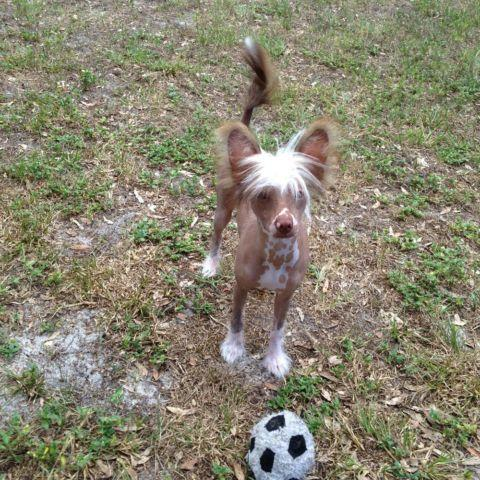 Chocolate and White Hairless Chinese Crested pup 5 mos