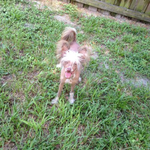 Chocolate and White Hairless Chinese Crested pup 7 mos