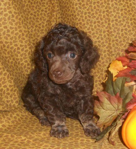 Chocolate Brown Phantom Toy Poodle Puppies For Sale In