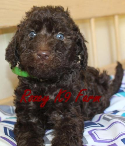 Chocolate F1b Labradoodle Puppies For Sale In Allendale Michigan