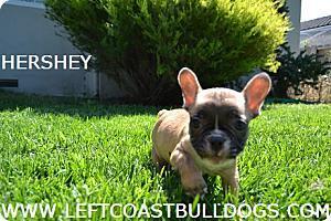 Chocolate French Bulldog puppy 707-689-7685