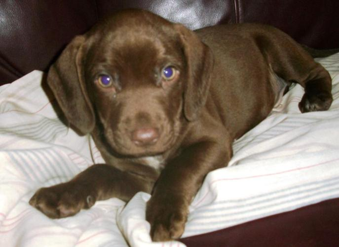 Chocolate Lab & Pointer Mix Pups for Sale in Philadelphia ...