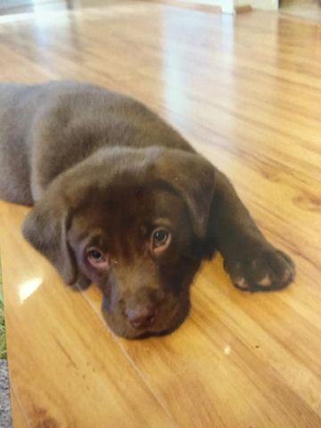 Chocolate Lab Puppies For Sale In Grigg Illinois Classified