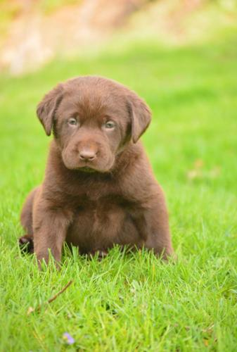 Lab Female Puppies For Sale In Pennsylvania Classifieds Buy And
