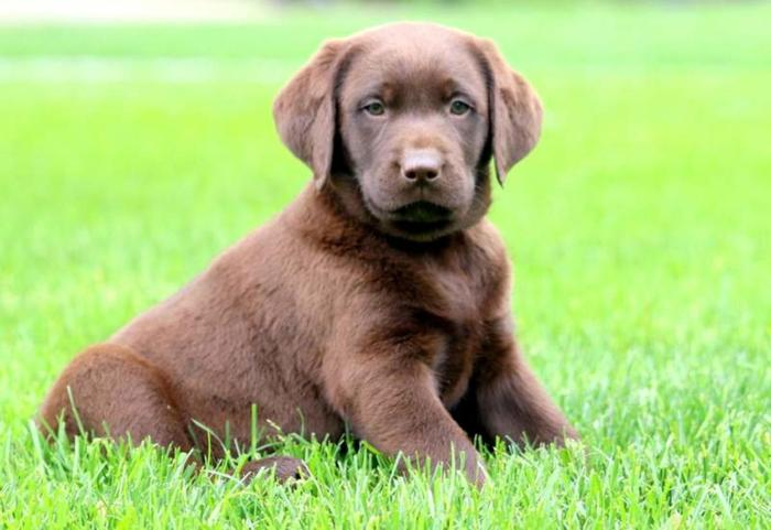 Chocolate Lab Puppies For Sale!!!