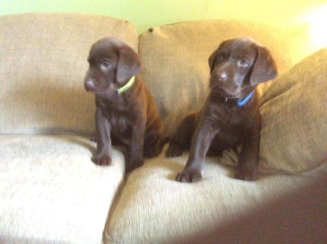 Chocolate Labrabrador Puppies For Sale For Sale In Des Moines Iowa