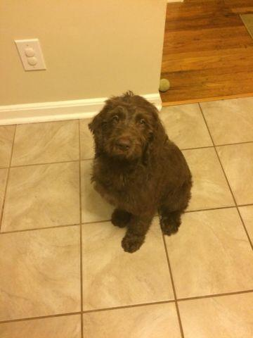 Chocolate Labradoodle Puppy For Sale In Trenton New Jersey