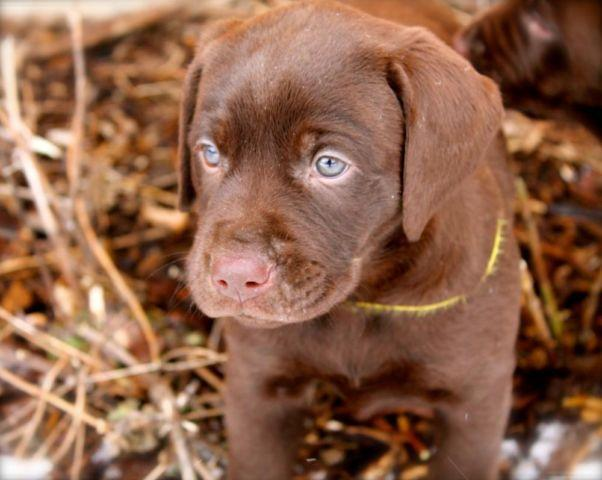 Chocolate Labrador Puppies For Sale In Williams Bay Wisconsin