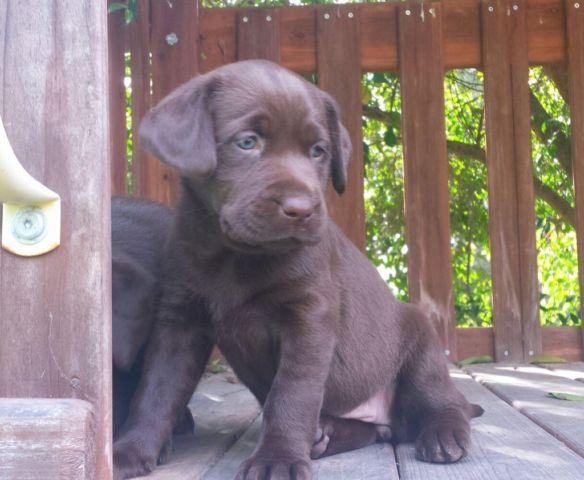 Chocolate Labrador For Sale In California Classifieds Buy And Sell
