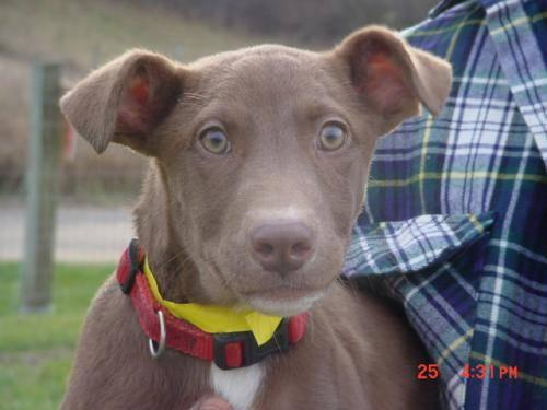 Chocolate Labrador Retriever Cabella Large Adult Female For Sale In Marion Indiana