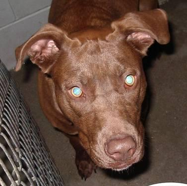 Chocolate Labrador Retriever - Marietta - Large - Young
