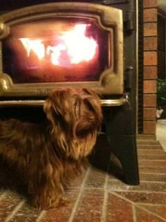 Chocolate Male Yorkie 2 yrs old  AKC Price Reduced! for Sale