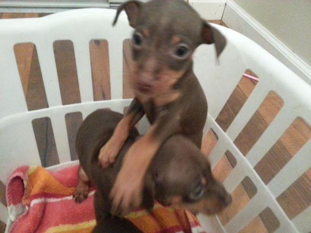 Chocolate Miniature Pinscher Puppies For Sale In Indianapolis
