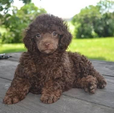 Chocolate Miniature poodle puppies