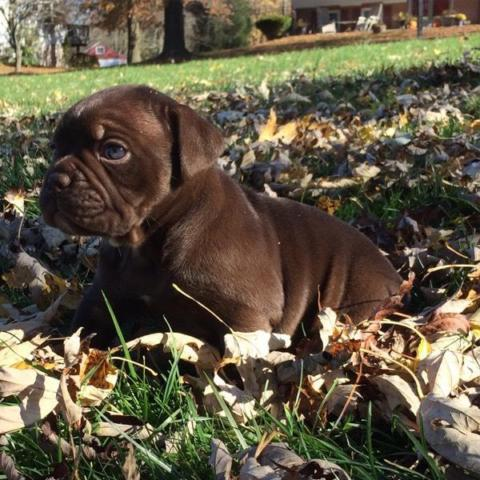 Chocolate Olde english bulldog pup for sale