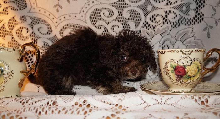 Chocolate Phantom Tiny Toy Teacup Poodle For Sale In Dothan