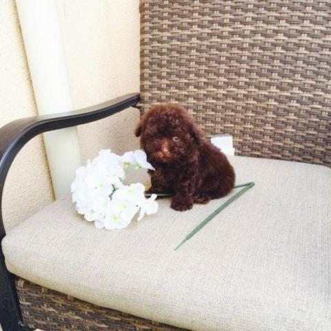 Chocolate Poodle Puppies Tiny Teacups For Sale In