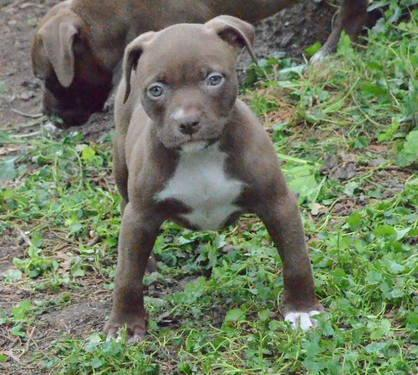 Edge Pitbull Edge Female Pitbull Puppy