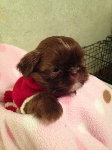 Shih Tzu For Sale In Michigan Classifieds Buy And Sell In Michigan