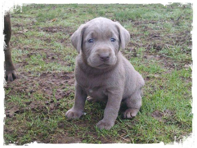 Chocolate & Silver Lab Puppies