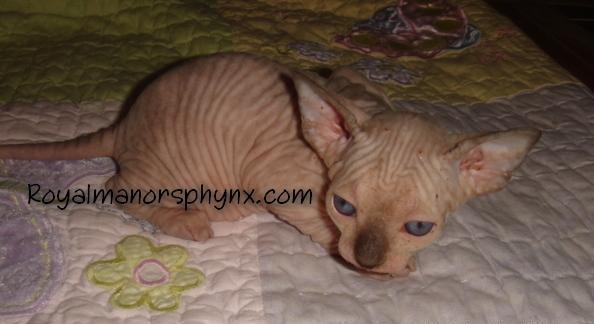 Chocolate Tortie Pt  Elf-Sphynx Female Kitten
