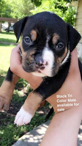 Tri Color Bully Classifieds Buy Sell Tri Color Bully Across The